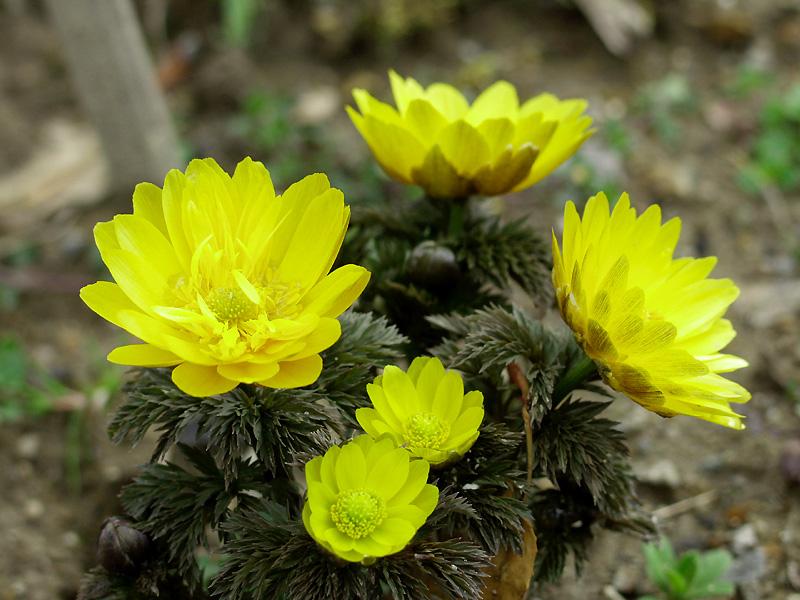 http://www.flower366.com/swfu/d/0110_hukujusou.jpg