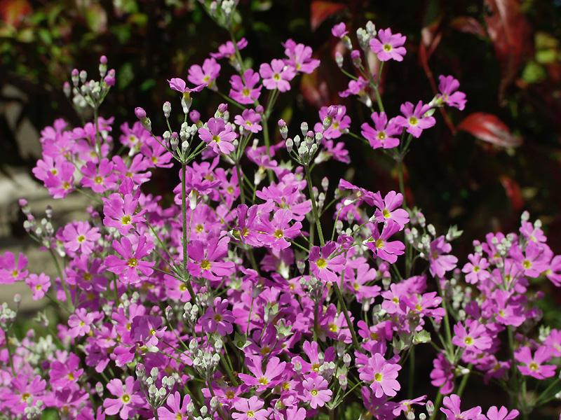 3月25日の誕生花・花言葉、プリムラ・マラコイデスの花言葉や今日のその他の誕生花と花言葉を紹介しています。