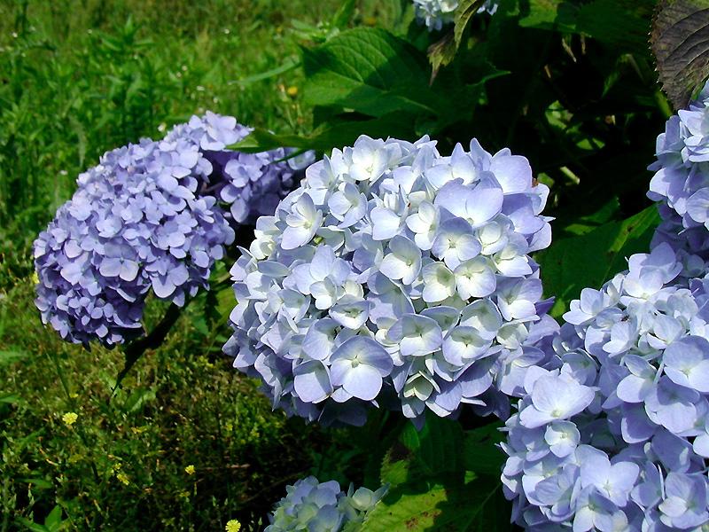6月14日の誕生花・花言葉、アジサイ(紫陽花)の花言葉や今日のその他の誕生花と花言葉を紹介しています。