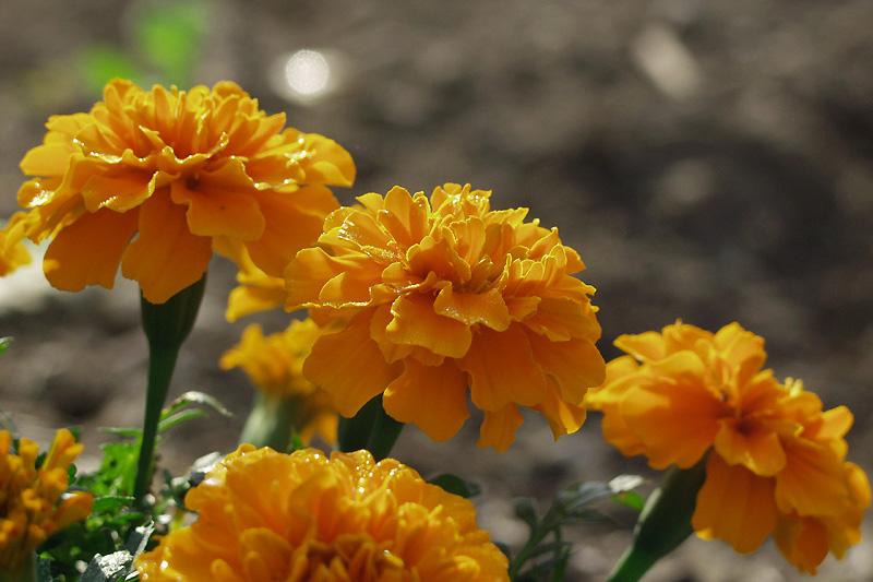 10月28日の誕生花・花言葉 - 誕生花・花言葉辞典